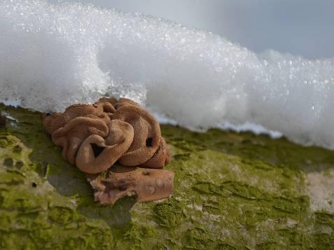 orzechówka mączysta Encoelia furfuraea